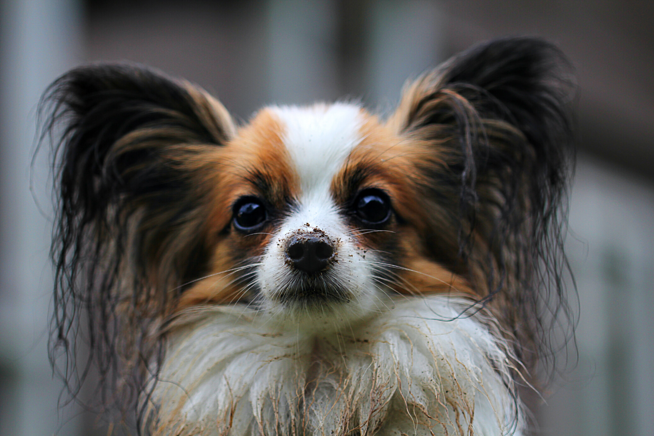 Papillon - A great small dog breed for hiking, backpacking, camping, and other outdoor adventures - djangobrand.com