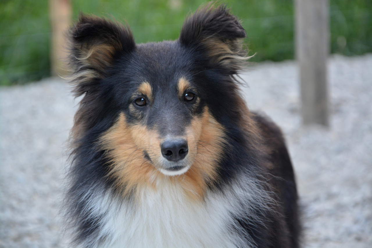 Shetland Sheepdog - A great small dog breed for hiking, backpacking, camping, and other outdoor adventures - djangobrand.com