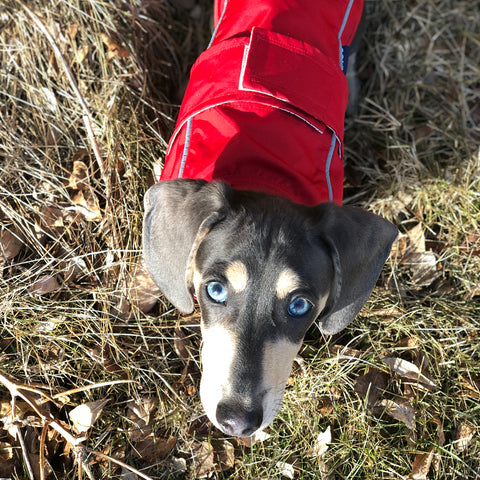 DJANGO - Diesel the Alaskan adventure dog rocking his Cherry Red City Slicker Dog Rain Jacket and Windbreaker - djangobrand.com