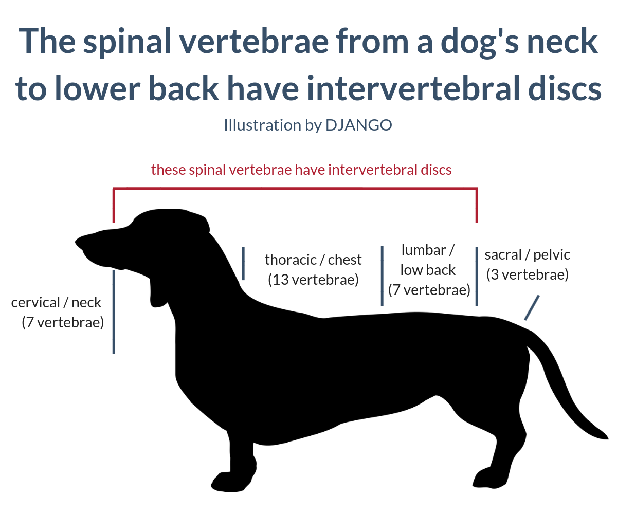 Image 1: The spinal vertebrae from a dog's neck to lower back have intervertebral discs