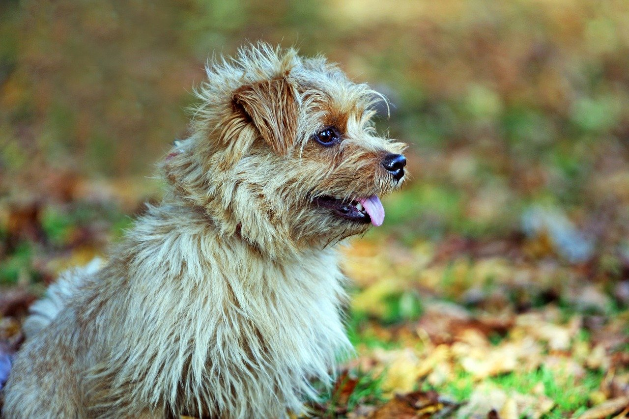 Norfolk Terrier - A great small dog breed for hiking, backpacking, camping, and other outdoor adventures - djangobrand.com