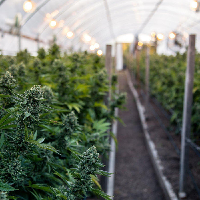 7 Cannabis Growing Tips to Help You Maintain a Healthy Plant-Smokerolla Shop