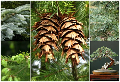 Christmas Tree Seeds.Rp Seeds Conifer Tree Seeds Great Value Hand Packed Seeds