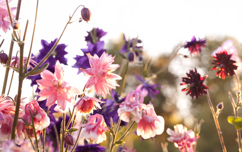 RP Seeds Aquilegia Barlow Mixed - Columbine seeds