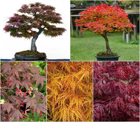 Japanese Maple Tree Seed Collection - 5 Packets
