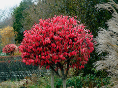 Euonymus alatus - Winged Spindle Tree