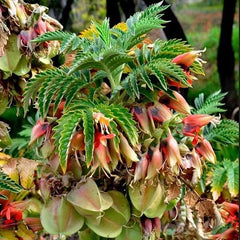 Melianthus comosus (Honey Flower) seeds - RP Seeds