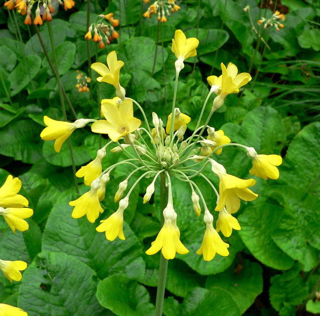 Primula florindae (Giant Himalayan Cowslip) seeds