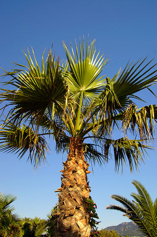 Washingtonia robusta - Mexican Fan/Thread Palm