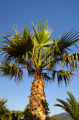 Washingtonia robusta (Mexican Fan/Thread Palm) seeds - RP Seeds