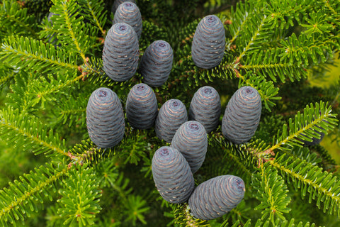 Abies balsamea (Balsam Fir) seeds