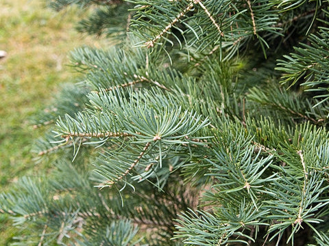Abies concolor (White Fir) seeds - RP Seeds