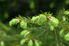 Abies fraseri  Fraser Fir