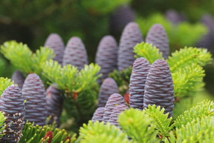 Abies koreana Korean Fir
