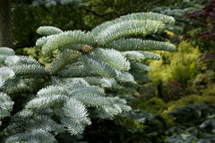 Abies procera syn. nobilis Noble Fir