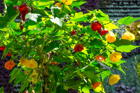 Abutilon hybridum maximum (Flowering Maple) seeds - RP Seeds