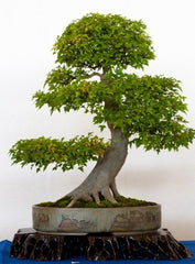 Acer buergerianum -Trident Maple Bonsai