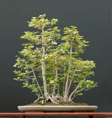 Acer campestre Field Maple Bonsai