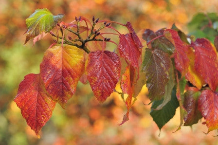Acer capillipes (Red Snake-Bark Maple) seeds - RP Seeds