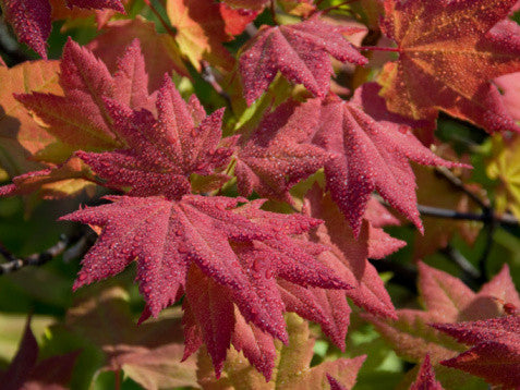 Acer circinatum (Vine Maple) seeds - RP Seeds