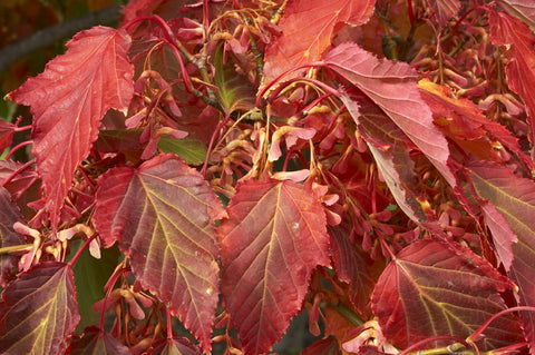 Acer davidii (Pere David's Maple) seeds - RP Seeds