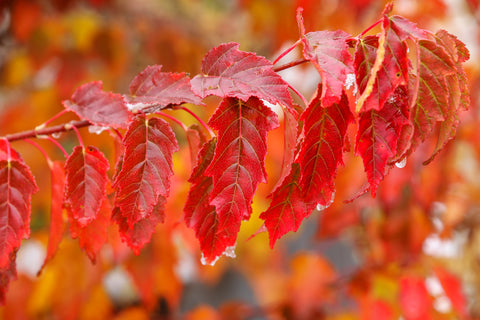 Acer ginnala (Amur Maple) seeds - RP Seeds
