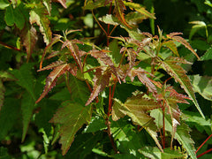Acer ginnala - Amur Maple
