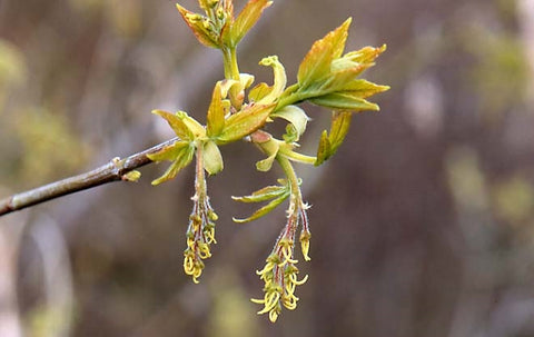 Acer negundo (Box Elder/Ash Leaved Maple) seeds - RP Seeds