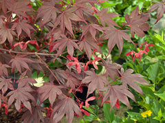 Acer palmatum atropurpureum - Blood Leaf Japanese Maple