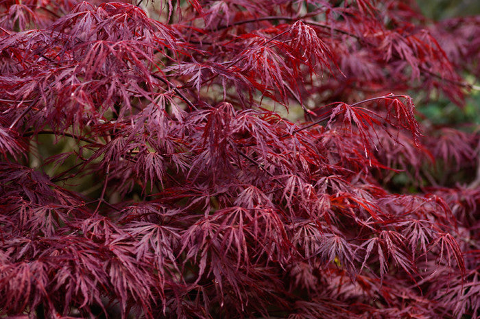 acer palmatum dissectum atropurpureum cut leaf japanese. Black Bedroom Furniture Sets. Home Design Ideas