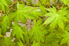 Acer palmatum (Japanese Maple) seeds - RP Seeds