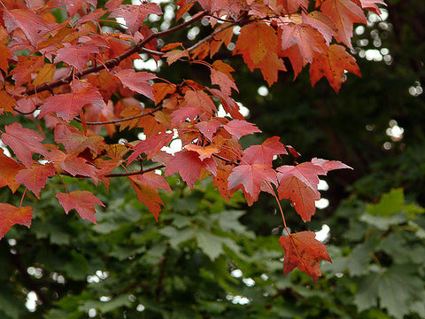 Rp Seeds Acer Rubrum Red Maple Seeds 20160 Or 100399