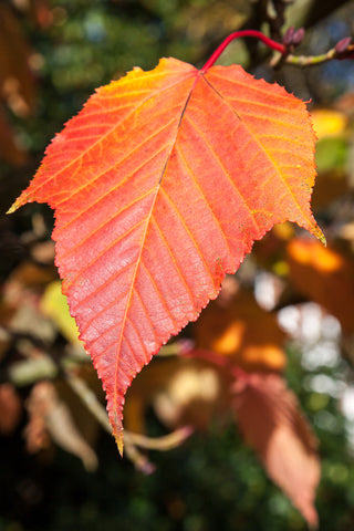 Acer rufinerve (Red Vein Maple) seeds - RP Seeds