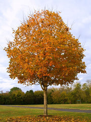 Acer saccharum (Sugar Maple) seeds - RP Seeds