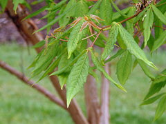 Acer triflorum (Rough Barked Maple) seeds - RP Seeds