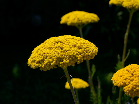 RP Seeds Achillea fillipendula Cloth of Gold - Yarrow seeds