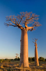 Adansonia digitata - Baobab / Lemonade Tree