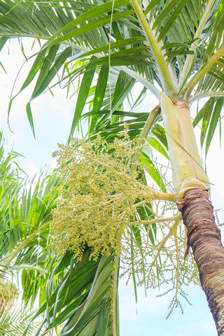 Adonidia merrillii (Christmas Palm) seeds - RP Seeds
