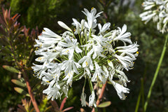 Agapanthus umbellatus albus (African Lily) seeds - RP Seeds