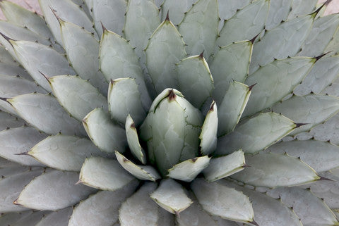 Agave parryi subsp. parryi (Parry's Agave) seeds - RP Seeds