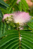Albizzia julibrissin (Silk Tree) seeds - RP Seeds