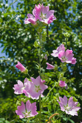 Alcea pallida (Turkish Hollyhock) seeds - RP Seeds