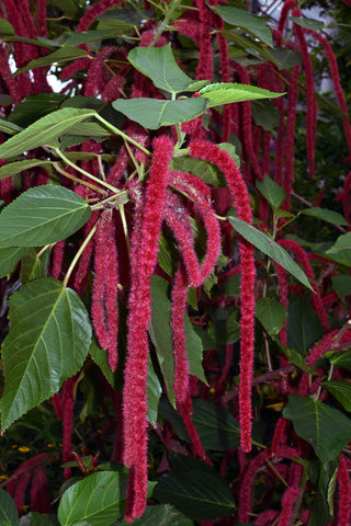 Amaranthus caudatus (Loves-Lies-Bleeding) seeds - RP Seeds