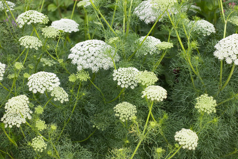 Ammi majus (Bishop's Flower) seeds - RP Seeds