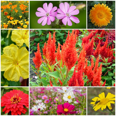 Annual Flower Seed Mix - Sunshine - 3g - RP Seeds
