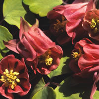Aquilegia Burnished Rose - Columbine
