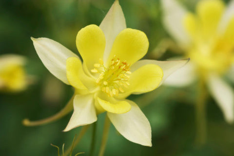 Aquilegia chrysantha Yellow Queen (Columbine) seeds - RP Seeds
