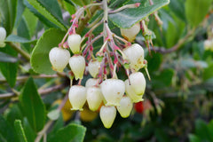 Arbutus unedo (Strawberry Tree) seeds - RP Seeds