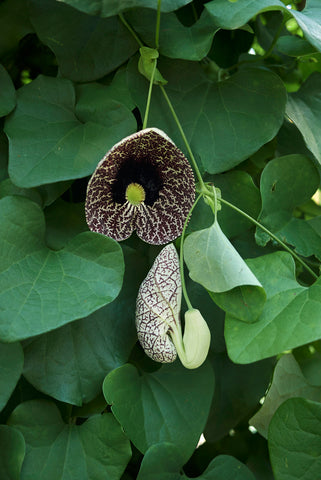 Aristolochia elegans (Dutchman's Pipe) seeds