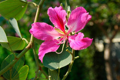Bauhinia purpurea - Orchid Tree